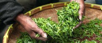 Сколько зеленого чая можно пить в день, чтобы не навредить здоровью