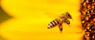 Перга пчелиная и ее чудесные свойства