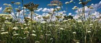 Болиголов трава — лечебные свойства и противопоказания