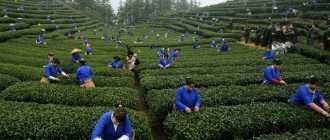 Чай Шри Ланка — настоящий цейлонский чай