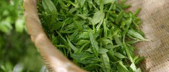 Зеленый чай — вред и польза. Независимое расследование