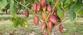 Как растет какао