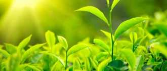 Зеленый чай для волос или как сделать волосы красивыми