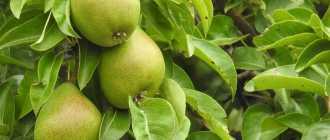 Листья груши — чай для здоровья
